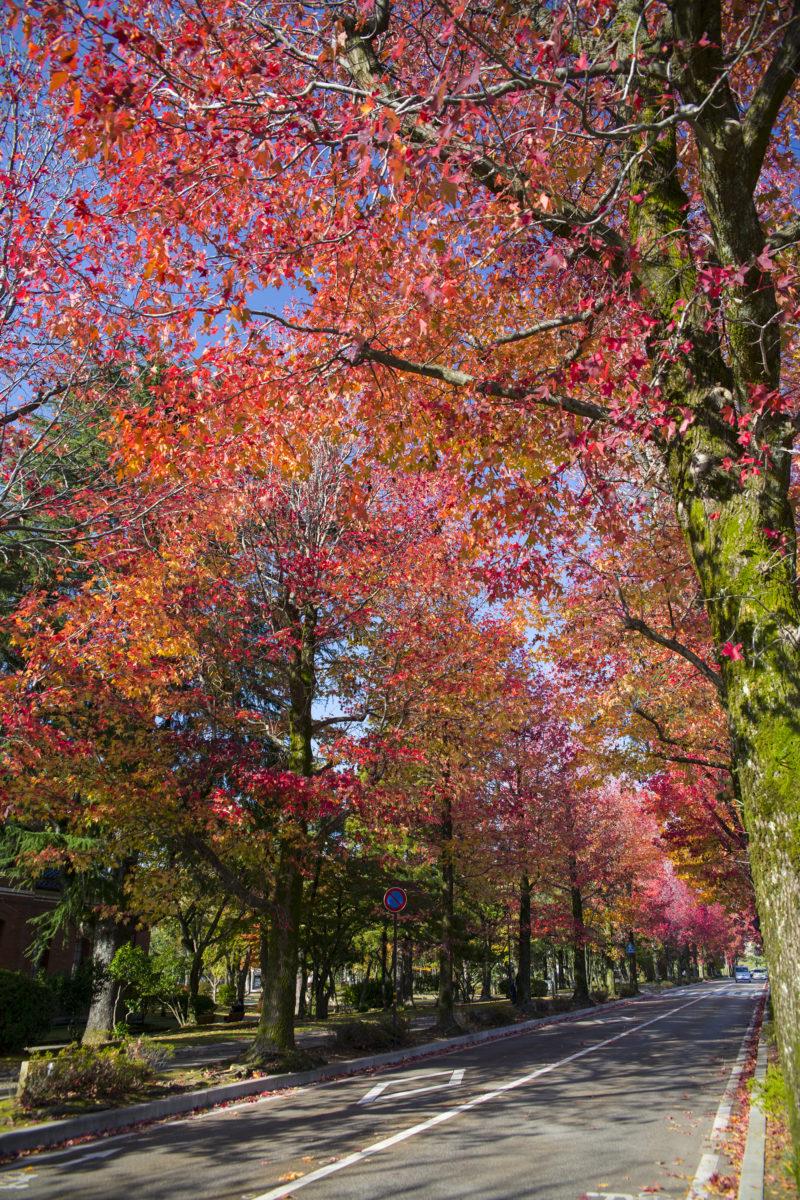 「アメリカ楓(フウ)通り」の紅葉画像