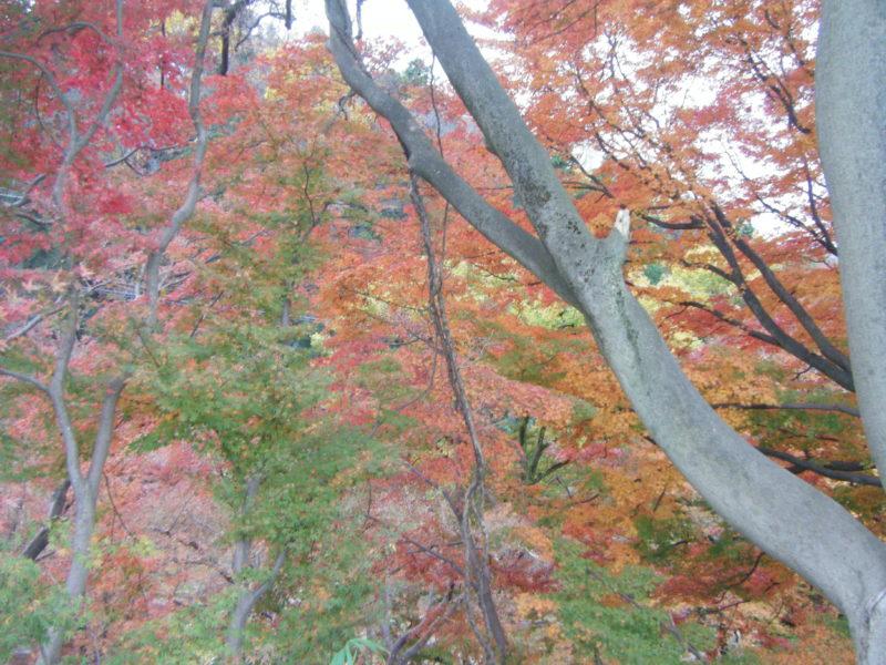 卯辰山「眺望の丘」のヤマモミジ
