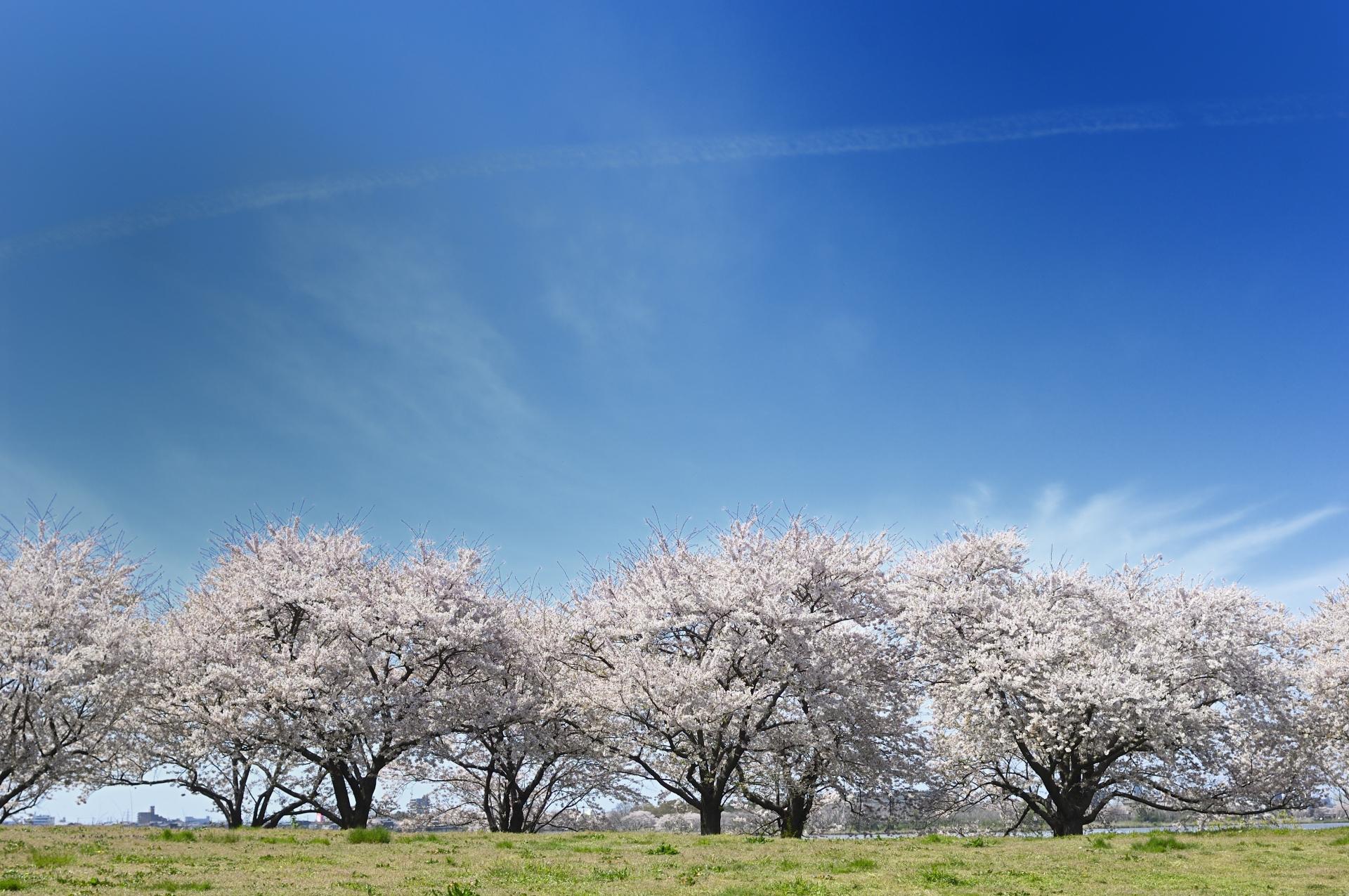 【河北潟の桜街道(さくらかいどう)】おすすめ!石川県の桜名所・お花見スポット情報