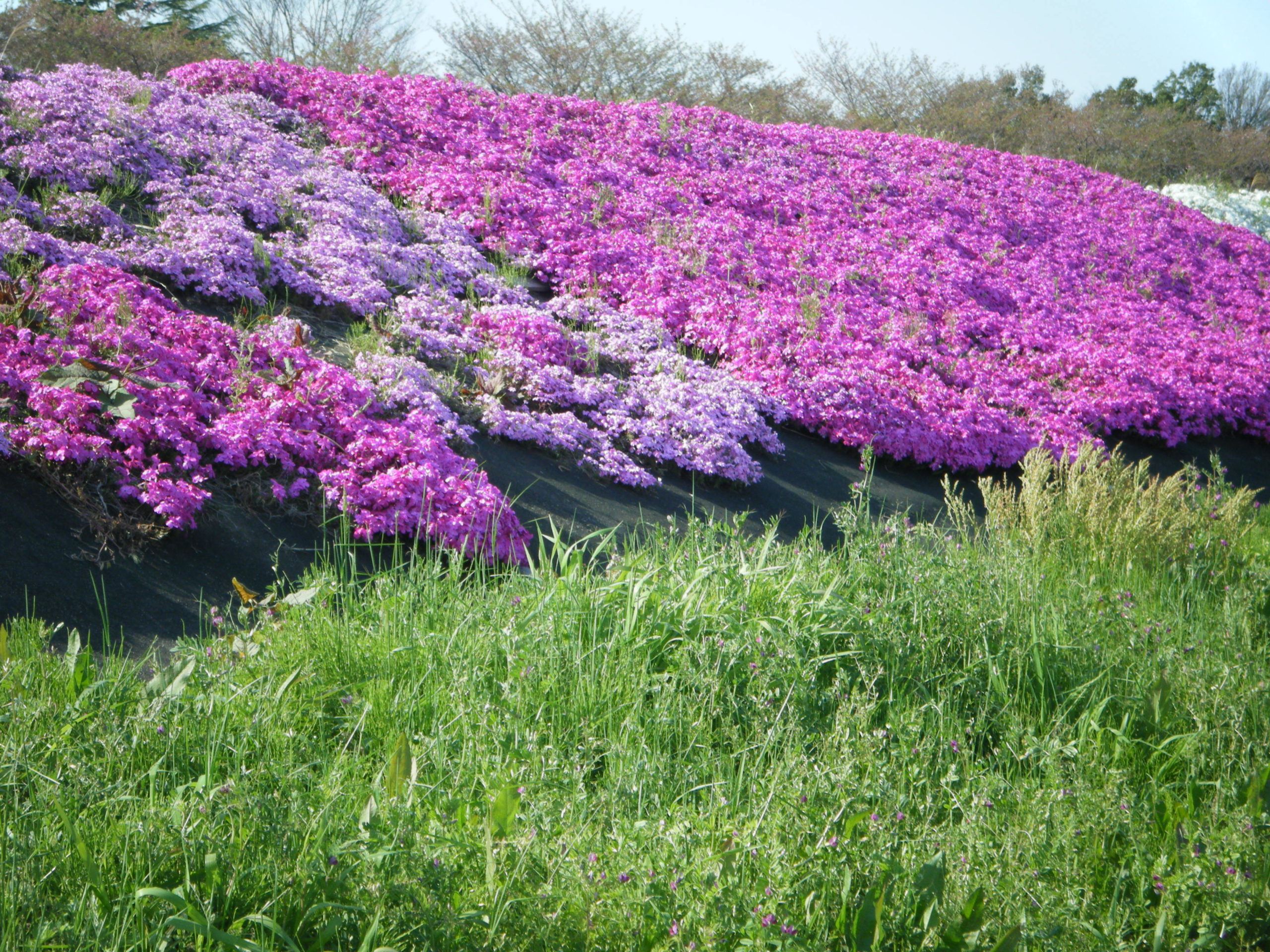 【森本川右岸】紅白鮮やかな芝桜が見頃!