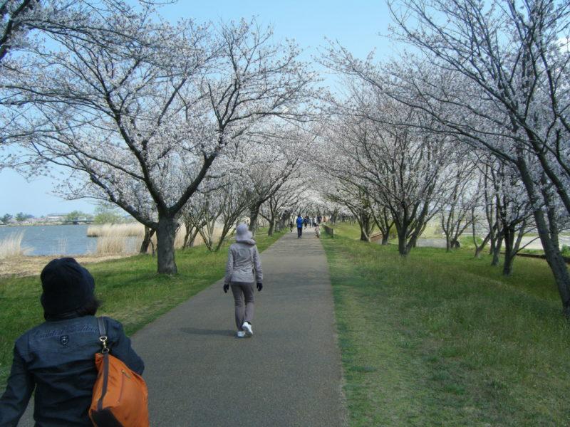 【石川県のお花見情報】木場潟の桜