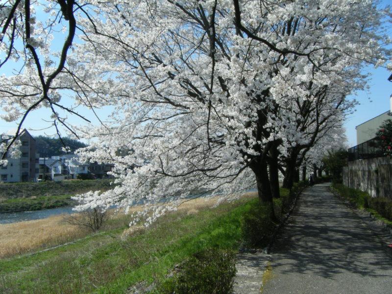 【石川県のお花見情報】イオン杜の里前の浅野川の桜