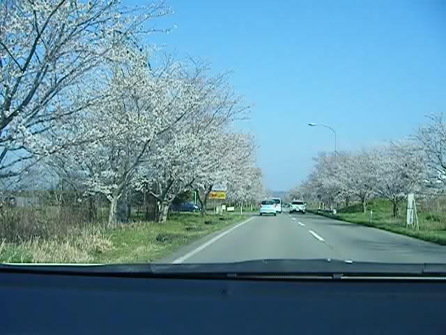【石川県のお花見情報】桜街道(内灘~津幡)の桜