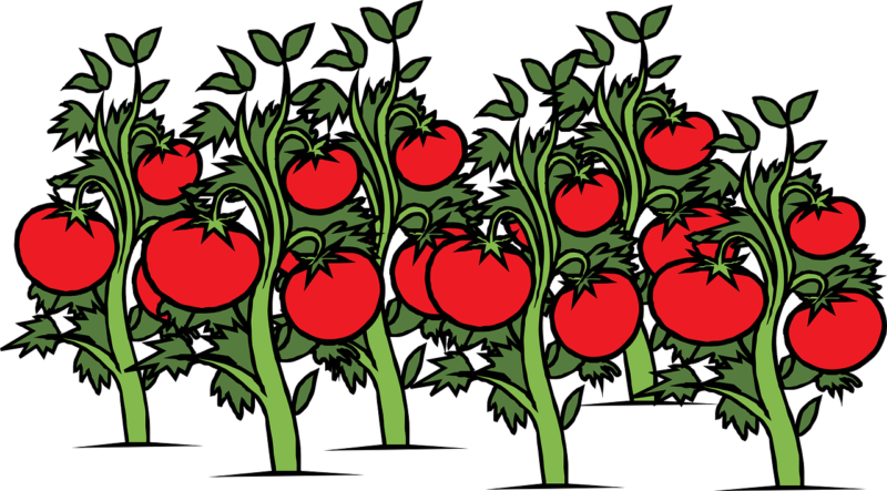 【志宝とまと】トレジャーふぁーむの美味しいトマト