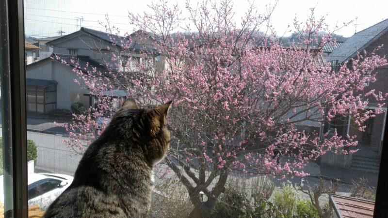 【さくら弁当】芝寿しの花見弁当
