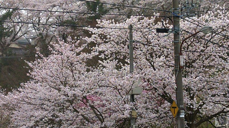 【金沢の桜】今年は山里同時の開花