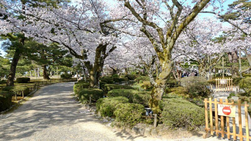 【【金沢の桜】今年は山里同時の開花